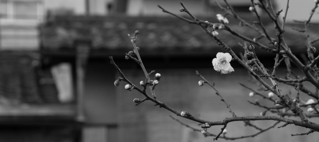Cherry blossom in black and white